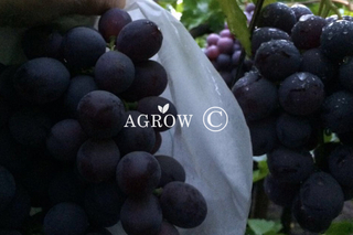 Grape Growing Bags